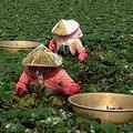 種菱、採菱需在烈日下工作,讓年輕人不願意繼承