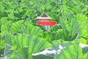 高樹鄉特產之一:芋頭