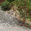 這是廟旁邊的芒果園,堆置的爐渣已造成一棵芒果樹枯死。圖片來源:晁瑞光