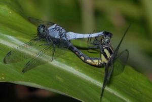 灰黑蜻蜓雄蟲(左)與雌蟲交配中。圖片來源:葉文琪