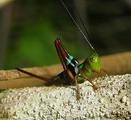 位於秘魯亞馬遜雨林中的蟋蟀。圖片來源:Artour_A