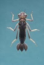 短腹幽蟌的幼蟲。圖片來源:葉文琪