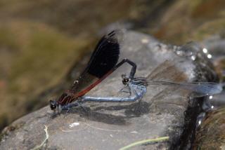 短腹幽蟌交配中。雄蟲(左)與雌蟲胸部都帶有明顯的勾狀條紋。圖片來源:葉文琪