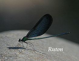 白痣珈蟌雄蟲擁有豔綠的身軀以及深藍色的翅膀。圖片來源:基隆河守護網。