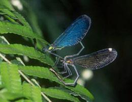 白痣珈蟌雄蟲(左)和雌蟲交配中。圖片提供:葉文琪。