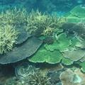 珊瑚礁是海中熱帶雨林。圖片來源:陳昭倫