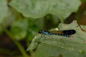 棋紋鼓蟌雄蟲全身黑色帶有淡藍色斑紋。照片提供:葉文琪
