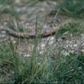 多年生黑麥草。圖片來源:陳志輝。