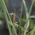青紋細蟌雄蟲(左)與雌蟲交配。圖片提供:葉文琪。