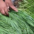 反季節生產的韭菜因施打高毒農藥變成有名的「毒菜」。照片來源:Den Zen