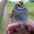 位於曼諾勉保育科學中心的白喉帶鵐(white-throated sparrow)。圖片來源:Manomet Center