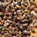 美國境內的蜜蜂正以驚人速度消失。圖片來源:USDA Bee Research Lab