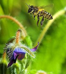 大部分的水果和蔬菜,都必須仰賴蜜蜂來傳播花粉。圖片來源:Louis Dobson