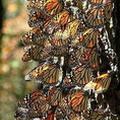 帝王蝶。圖片來源:U.S. Forest Service