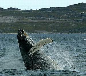 破水而出的鯨魚。圖片來源:Greenland Tourism and Business Council