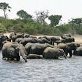 位於波扎那的象群。圖片來源:Ingo Repinz