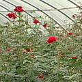 玫瑰園。圖片來源:公視「我們的島」