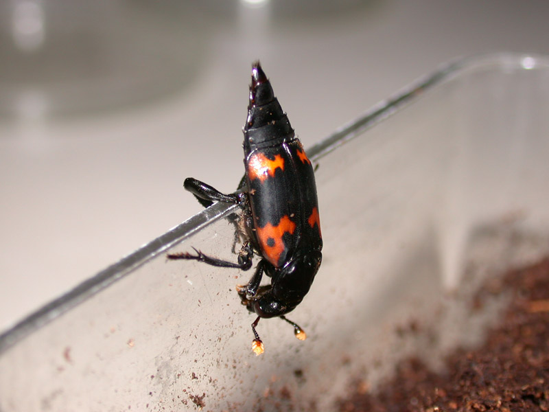尼泊爾埋葬蟲雄蟲從尾部釋放出費洛蒙。圖片來源:黃文伯