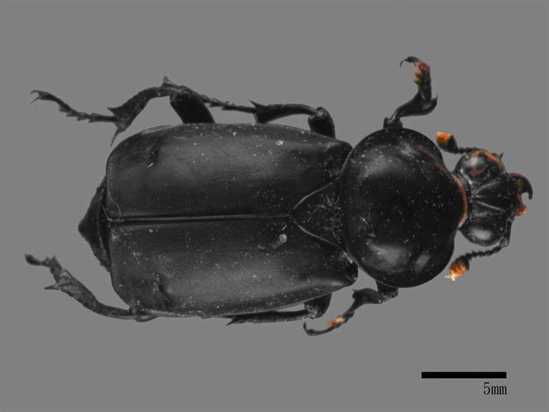 大黑埋葬蟲。圖片來源:數位典藏網路平台