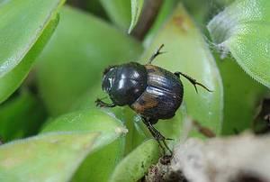 林氏螉蜣螂。圖片來源:黃文伯