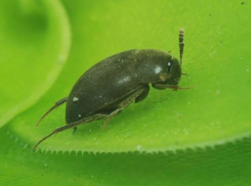 偽大球蕈蟲;圖片來源:黃文伯