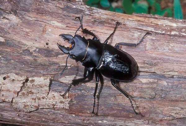 鬼艷鍬形蟲雄蟲的大顎齒長短,會視幼蟲時期所獲得的營養與環境條件而長成;圖片來源:國家數位典藏館