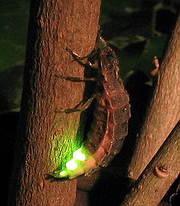 螢火蟲腹板上有發光器。圖片來源:Wiki