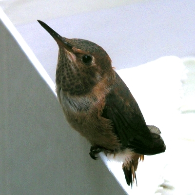 站在盒緣的小小蜂鳥連喙帶尾不到10公分長。圖片來源:陳維婷