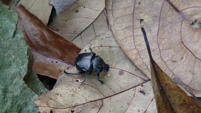 糞金龜。圖片來源:湘之