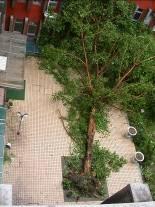 近五層樓高,樹齡逾三十年的菩提樹,五年間受風災倒了兩次。圖片來源:邱志郁