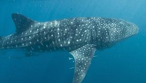 大堡礁海域的鯨鯊(攝影:Gary Cranitch,圖片節錄自昆士蘭博物館)