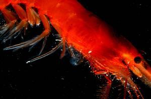 深海中的紅蝦;圖片來源:廖運志