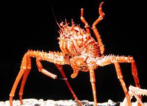 巨螯擬人面蟹;圖片來源:廖運志