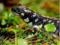 加州虎螈(California tiger salamander);圖片來源:C. Johnson