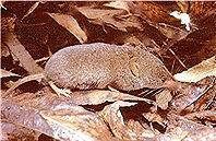布埃納維斯塔湖鼩(Buena Vista Lake shrew);圖片來源:B. Moose Peterson