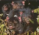 袋獾是有袋哺乳類 (圖片來源 : Trowunna Wildlife Sanctuary)