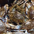 乞沙比克灣的藍蟹(blue crabs)逐漸減少中 (圖片來源 : Chesapeake Bay Program)