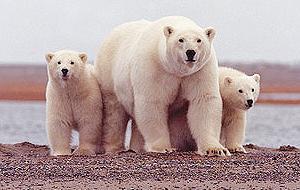 阿拉斯加岸邊的北極熊 (圖片來源 : DOI)