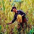越南Bae Kan地的稻農(圖片來源:nternational Rice Research Institute)
