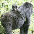 維龍加國家公園(Virunga National Park)內的瀕危山地大猩猩與小猩猩(攝影:Ben Haylock)