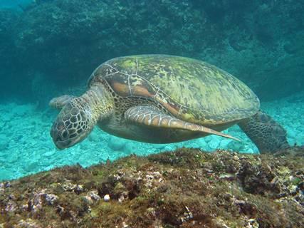 綠蠵龜從身後側突然游近;圖片來源:小高