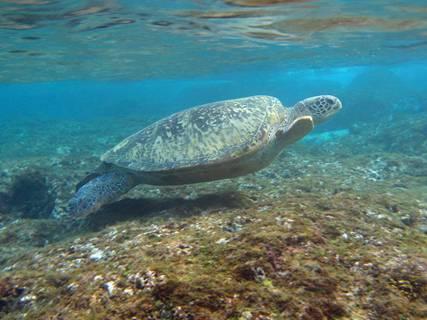 母綠蠵龜游過淺水處;圖片來源:小高