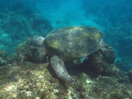 成年的綠蠵龜以食海藻為主;圖片來源:小高