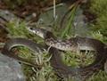 福建頸斑蛇