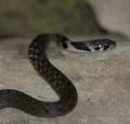 斯文豪氏遊蛇