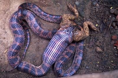 吞食黑眶蟾蜍的紅斑蛇。圖片提供:毛俊傑