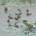 珍稀保育類的水雉。圖片提供:我們的島。