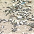 澎湖寒害死傷之魚群。圖片提供:我們的島。