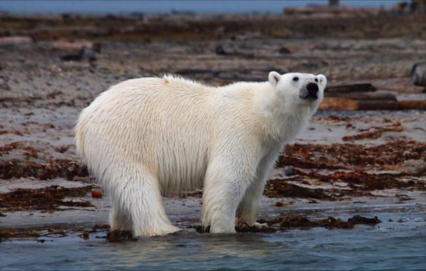 全球持續暖化,北極熊首當其衝,可能成為最先滅絕的動物。攝影:張隆盛
