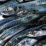 超過三分之一受檢驗的魚體內被發現含有體積小於1公厘、名為「微珠」的塑膠碎片。(攝影:Corbis,節錄自衛報報導)